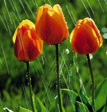 rain tulips x